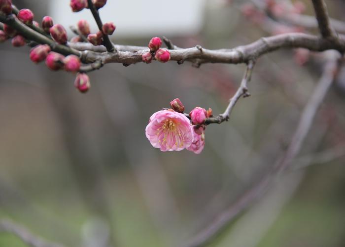 梅花在春天刚发芽图片