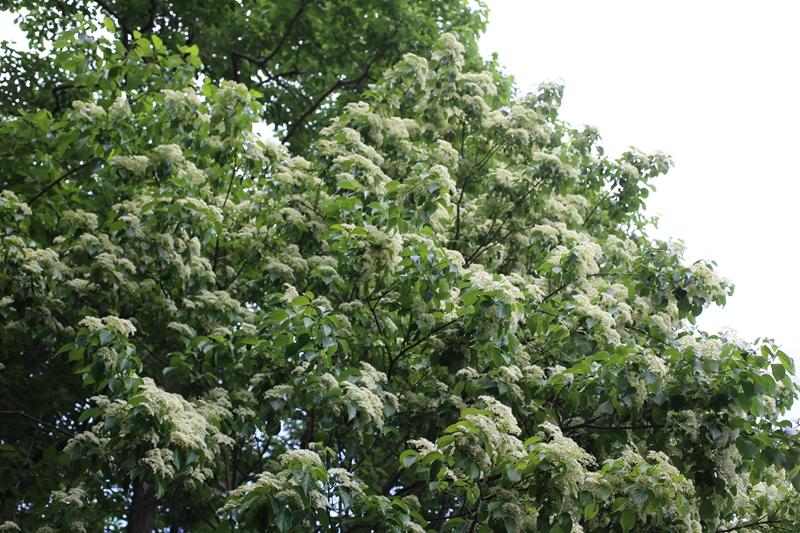 又名光皮树,山茱萸科落叶乔木,叶片对生,边缘全缘,叶背通常有短柔毛.