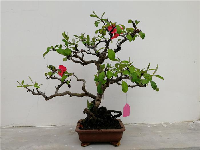 制作贴梗海棠盆景时,多采用棕丝攀扎加工,结合修剪造型.