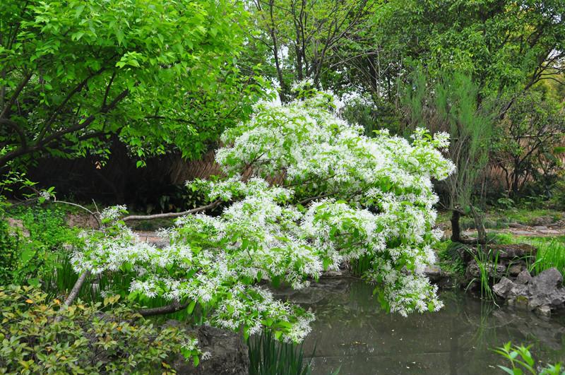 木犀科流苏树属,花,嫩叶晒干可代茶,味香;果可榨芳香油.