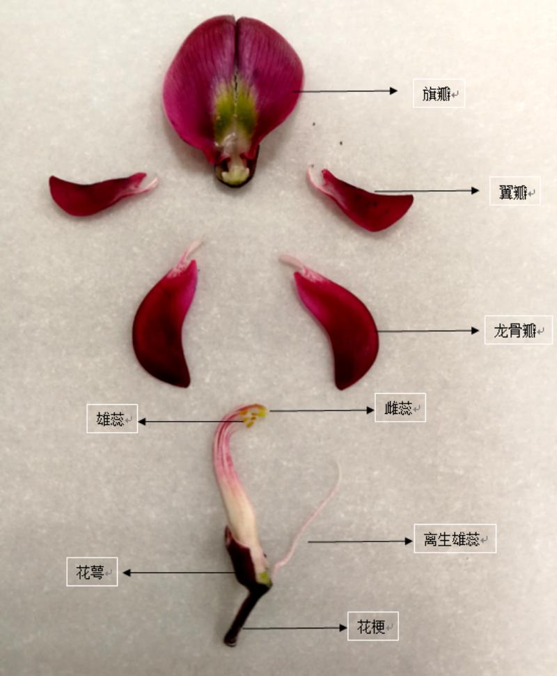 香花鸡血藤花部结构解剖图