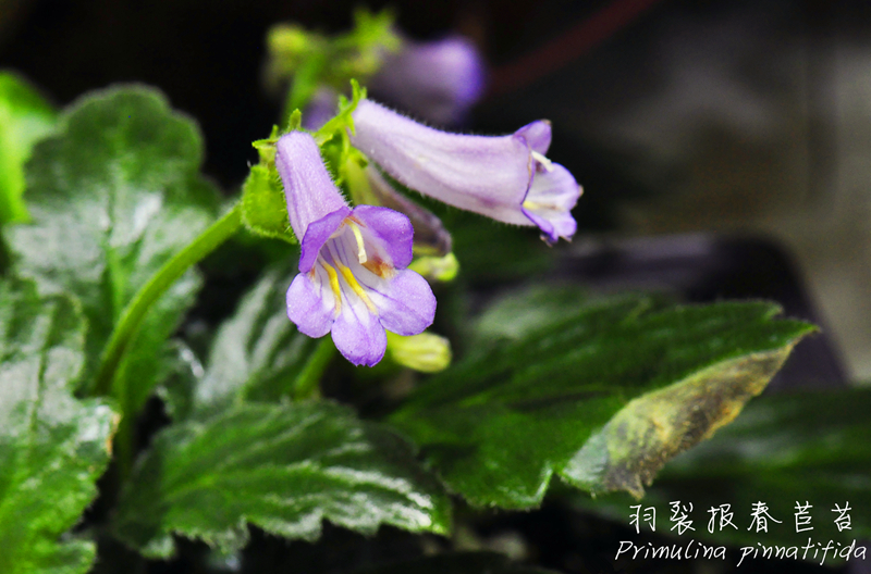 羽裂报春苣苔Primulina pinnatifida.jpg