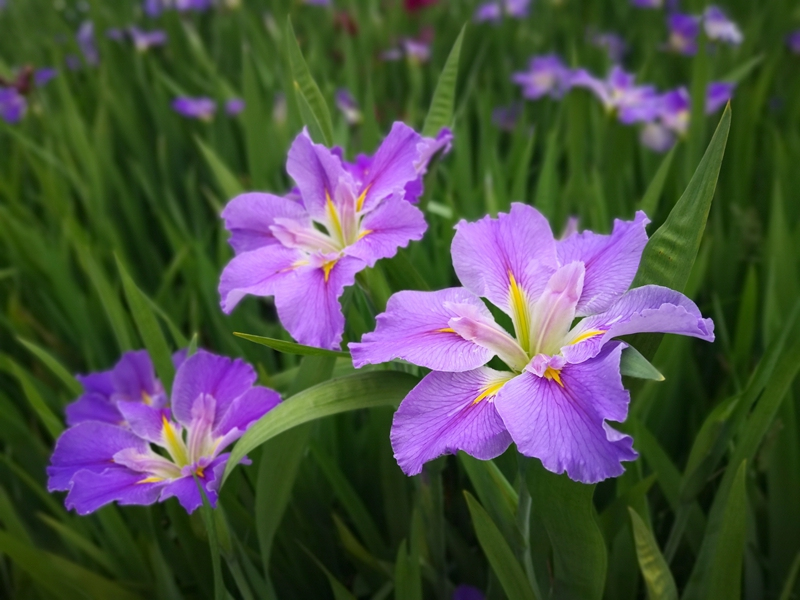 U:\信息报送\科普中心\2021年5月\活动预告丨上海植物园6月科普活动早知道\800\鸢尾.jpg