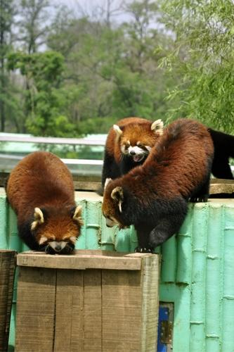 秦皇岛野生动物园之国家二级保护动物--小熊猫