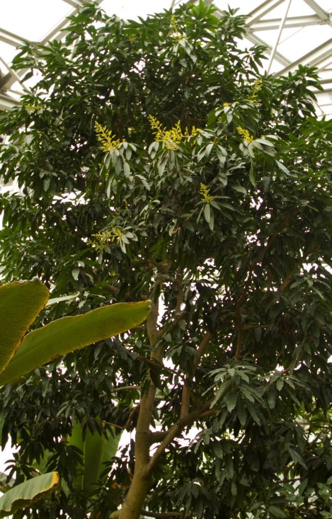开花的芒果树高达10余米