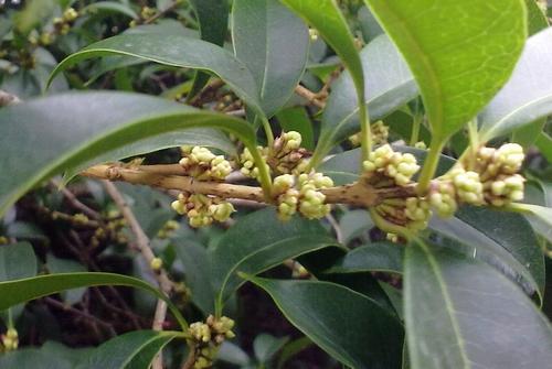 某些桂树的枝条上,已经挤满了小小的圆滚滚的花蕾,很快就将盛开.