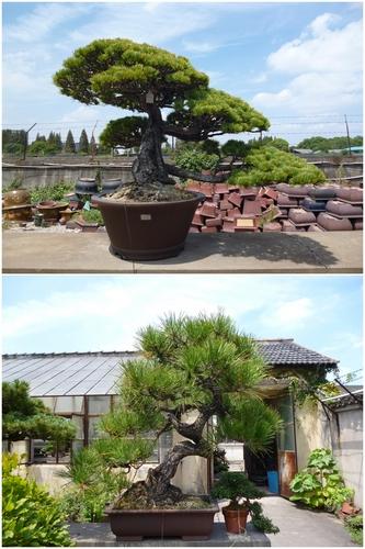 盆景 盆栽 树 松 松树 植物 333_500 竖版 竖屏