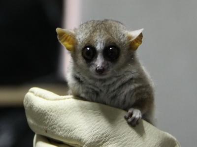 鼠狐猴首次亮相中国——上海动物园引进并展出鼠狐猴