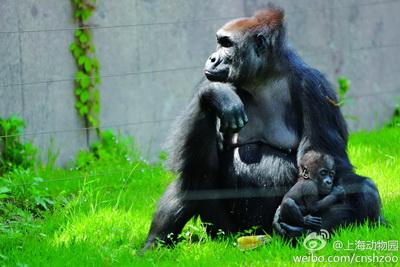 """上海动物园将为大猩猩宝宝""""海贝""""举办庆生派对"""