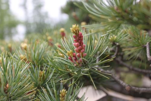 松树开花不稀奇,盆景园里松花多